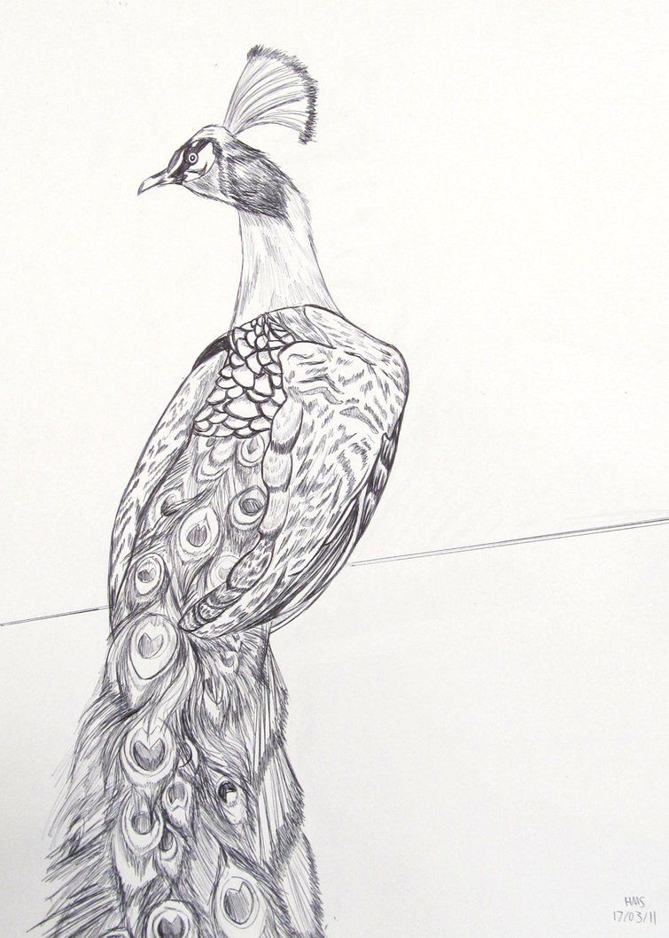 How to draw a peacock peacock pen drawing by hms 08