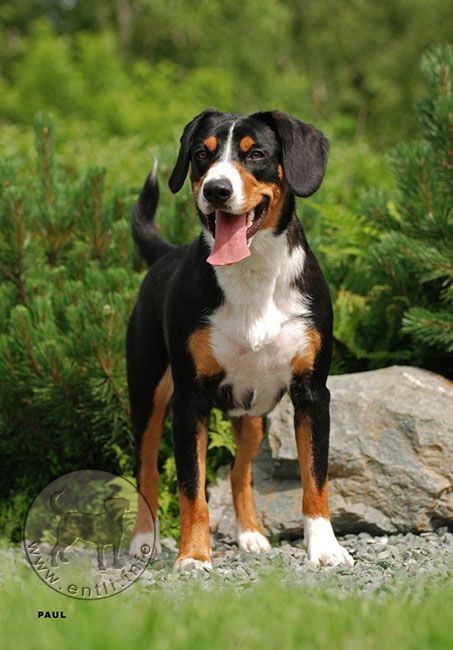 Appenzeller Sennenhunde Dog Breed Information Popular Pictures