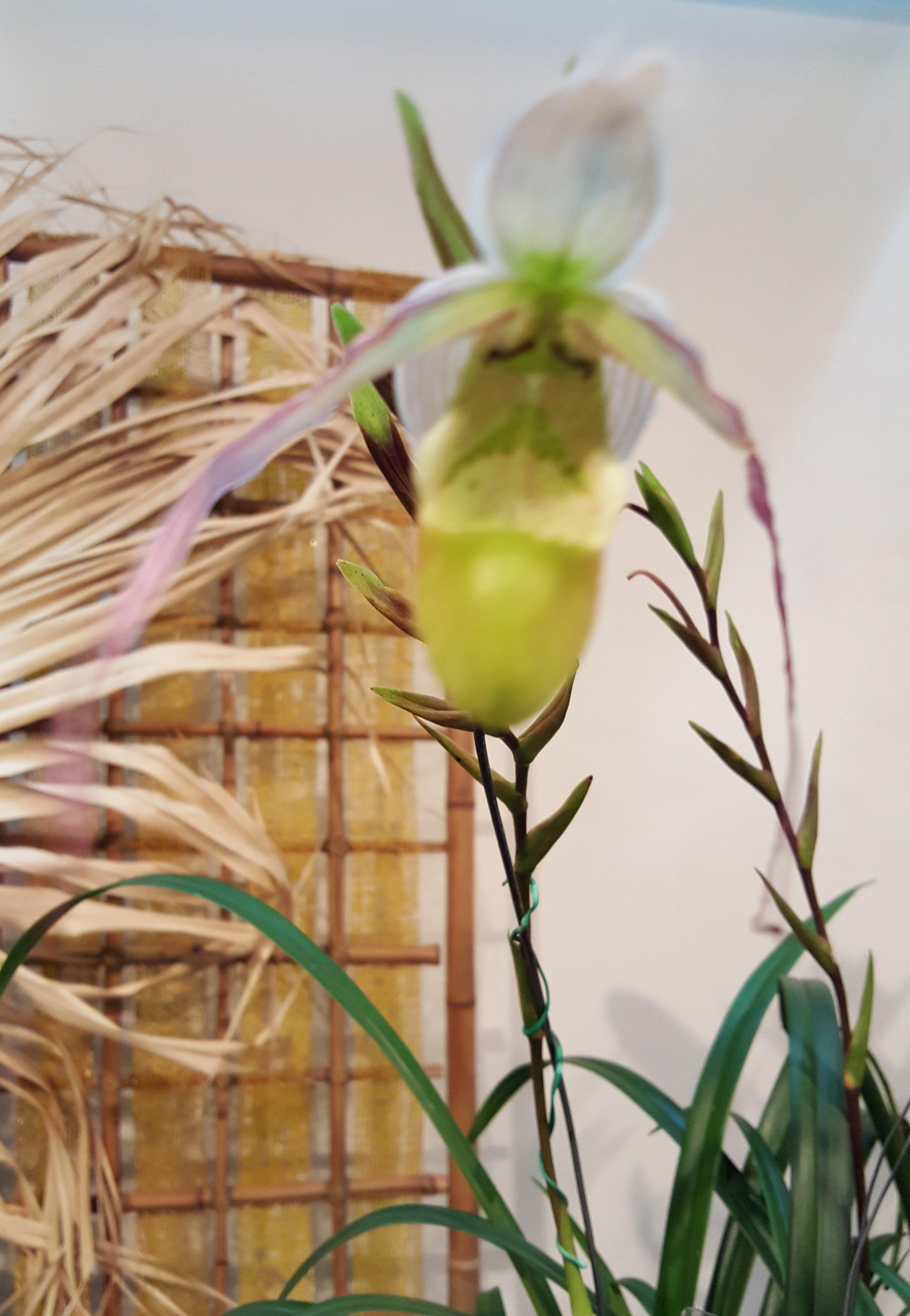 Orchid pragmi pedium cristianseniauum orchid pinterest