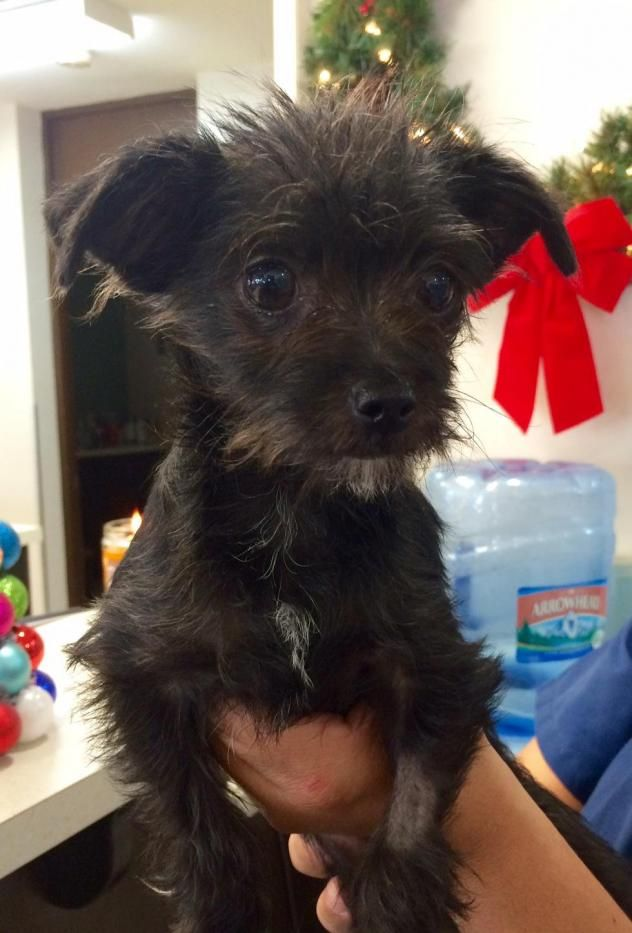 Adopt Eightball On Cairn Terrier Mix Terrier Mix Dogs Black Chihuahua