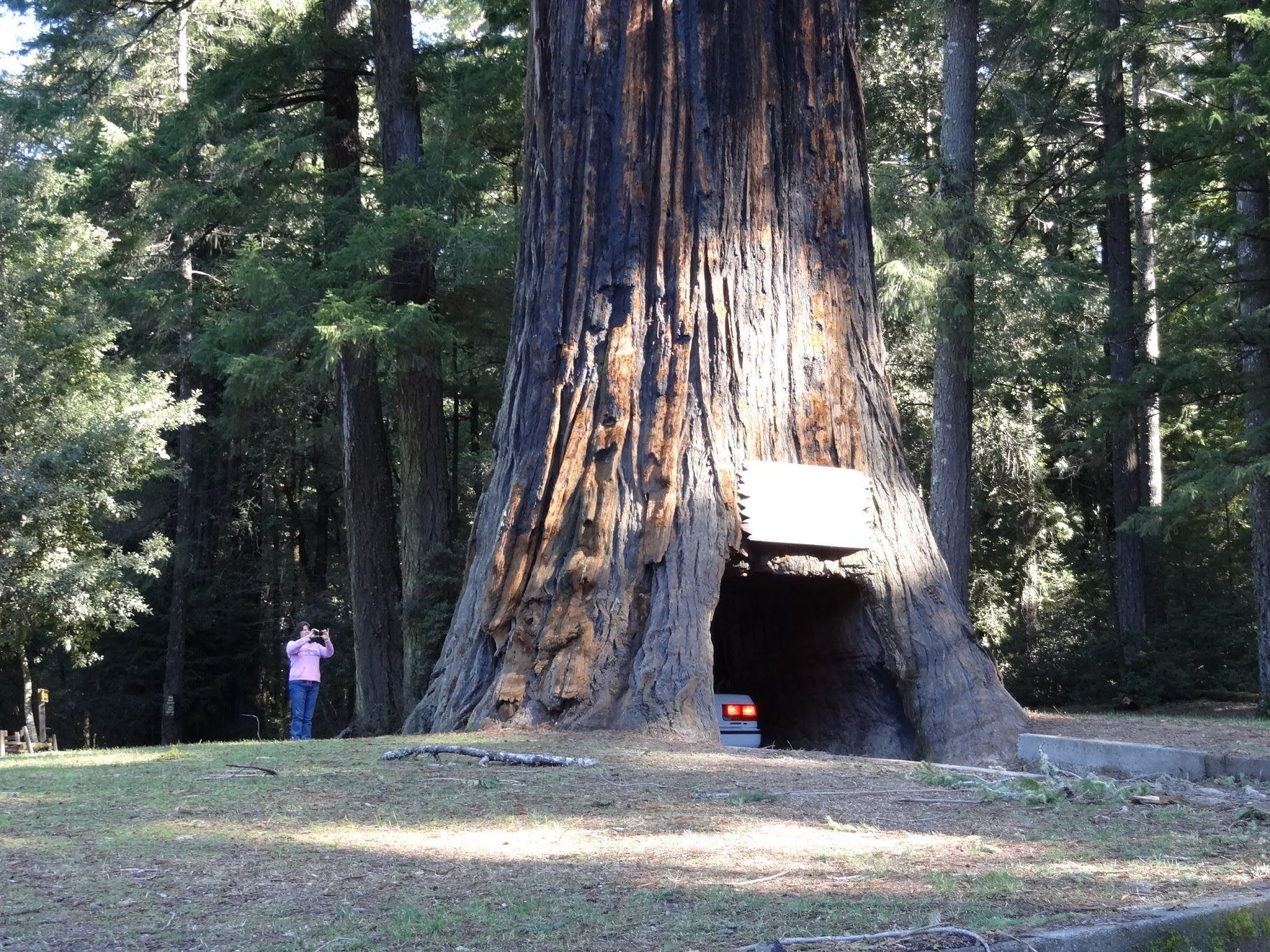 Thursdaythoughts a redwood tree located in redford national park ca drive thru redwood tree world famous chandelier tree forest leggett california ca national park 101 arubaitofo Choice Image