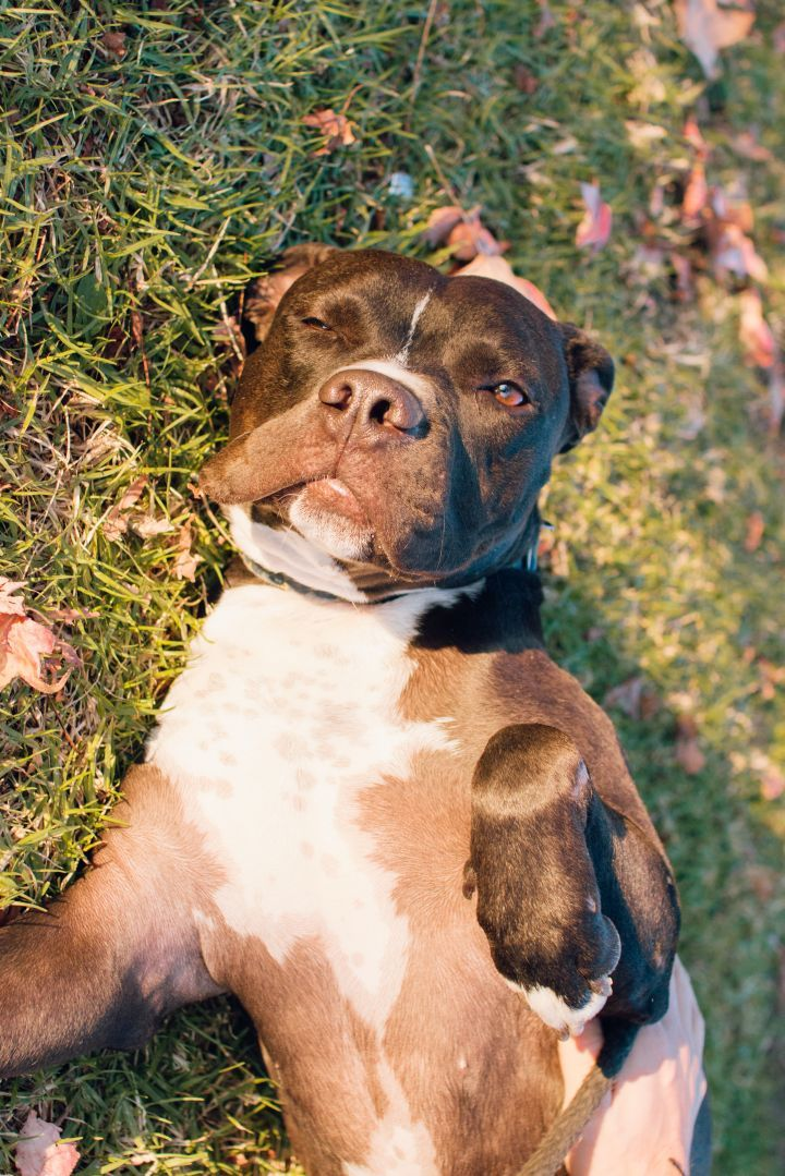 Adopt Brando on Bull terrier mix, Terrier mix dogs