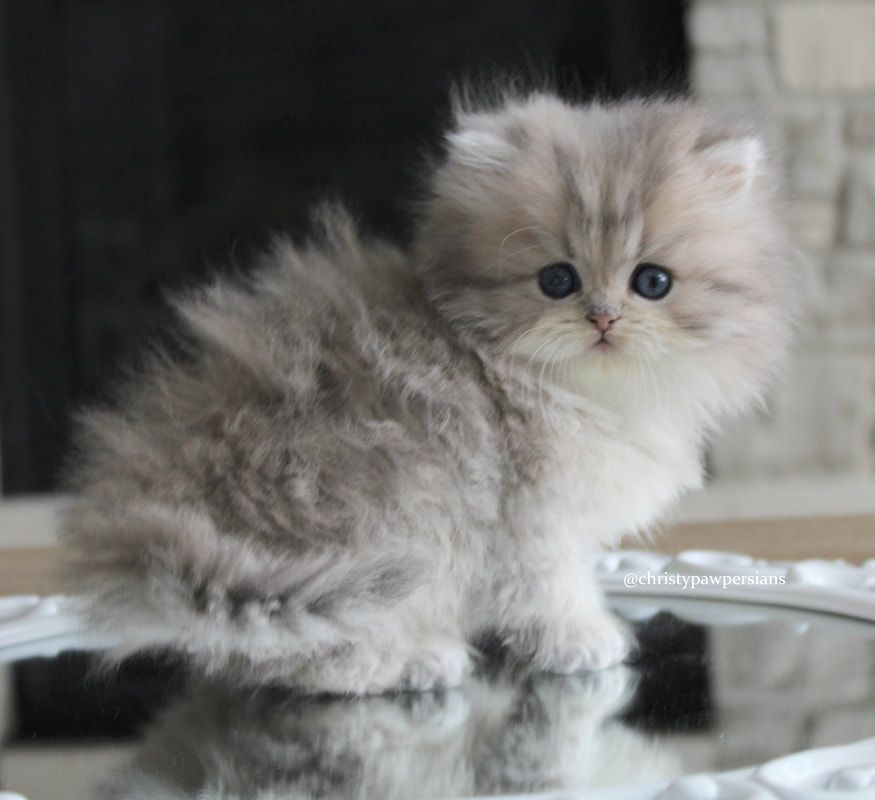 Doll Face Persian Kittens For Sale Christypaw Persians Persian