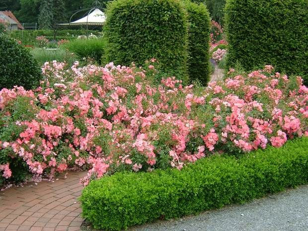 Simple Rose Garden: Flower Carpet Coral Roses Spill Over The Walkway And