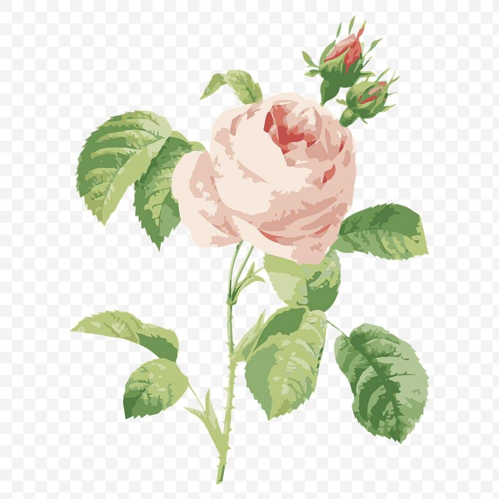 Vectorized Cabbage Rose Flower Design Element Free Image By Rawpixel Com Aew In 2020 Flower Illustration Flower Painting Design Element