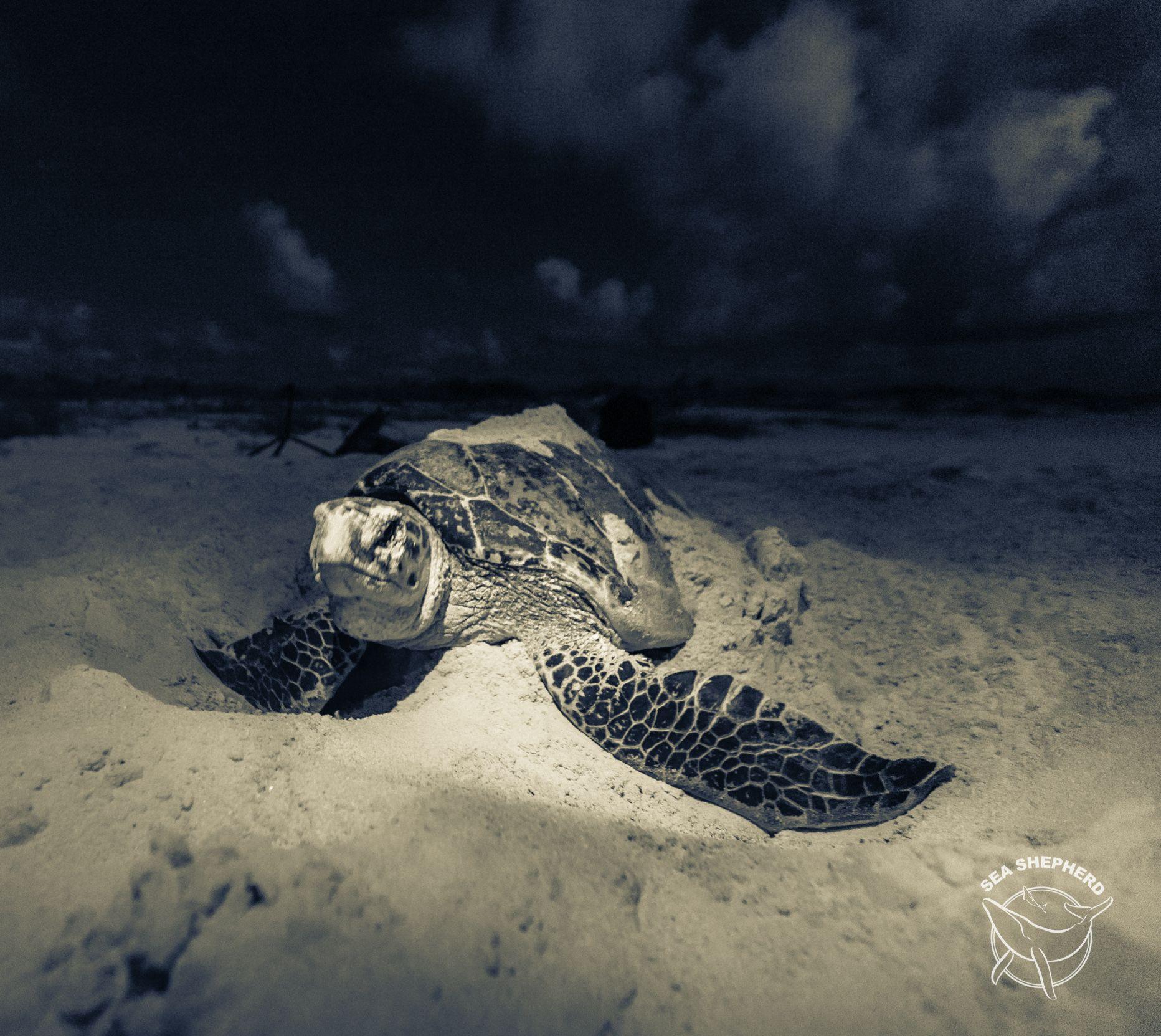 Hawksbill Turtle laying eggs #turtles #beach #seashepherd #marinelife