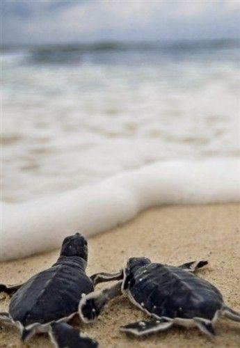 Baby turtles. Ocean. Life. Breathtaking.