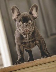 Drew Dogs French Bulldogs Frenchies French Bulldog Dogs French
