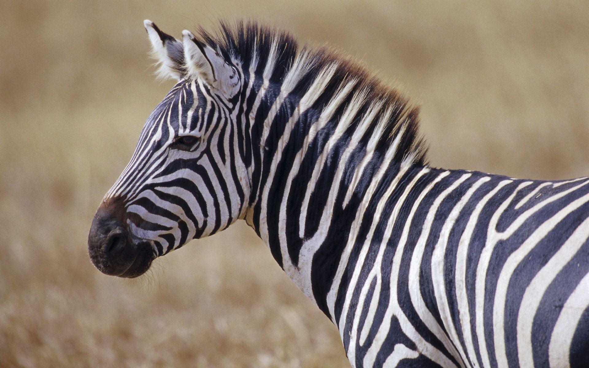 Зебра животное в картинках