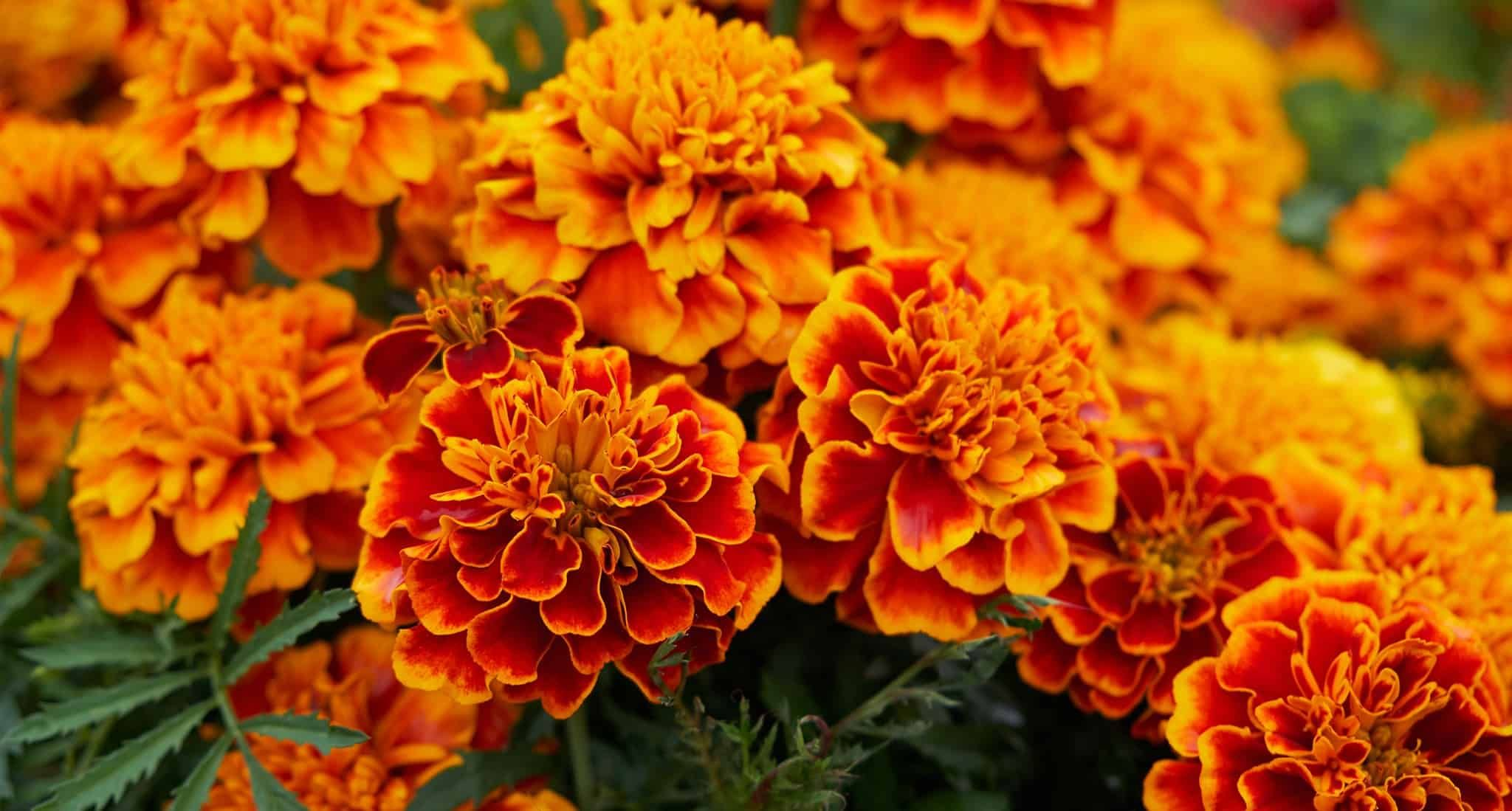 ANALOGOUS colours of marigold flowers Yahoo Search