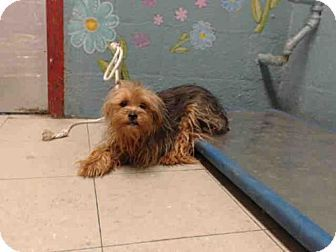 Yorkie Yorkshire Terrier Mix Dog For Adoption In Castaic California Hugh Animals Pet Care Pets