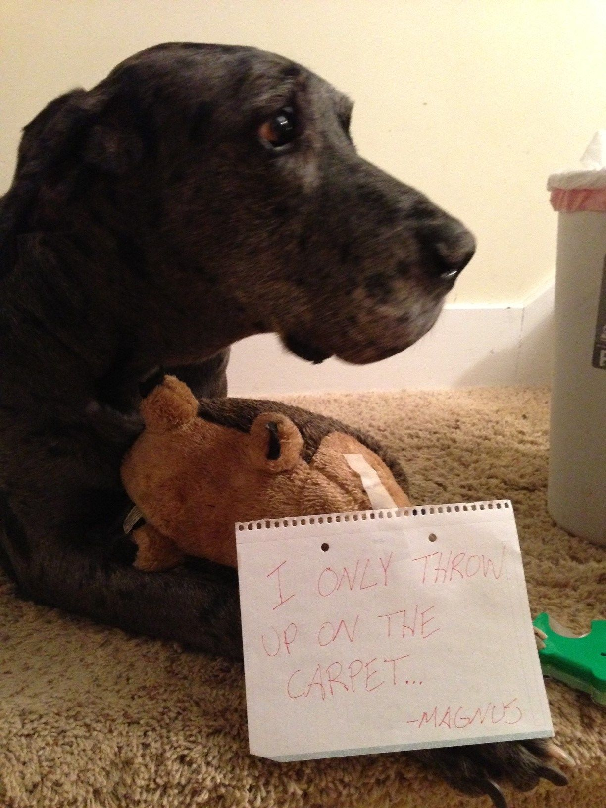 Great Dane Problems Dog Shaming Great Dane Dogs Great Dane Puppy