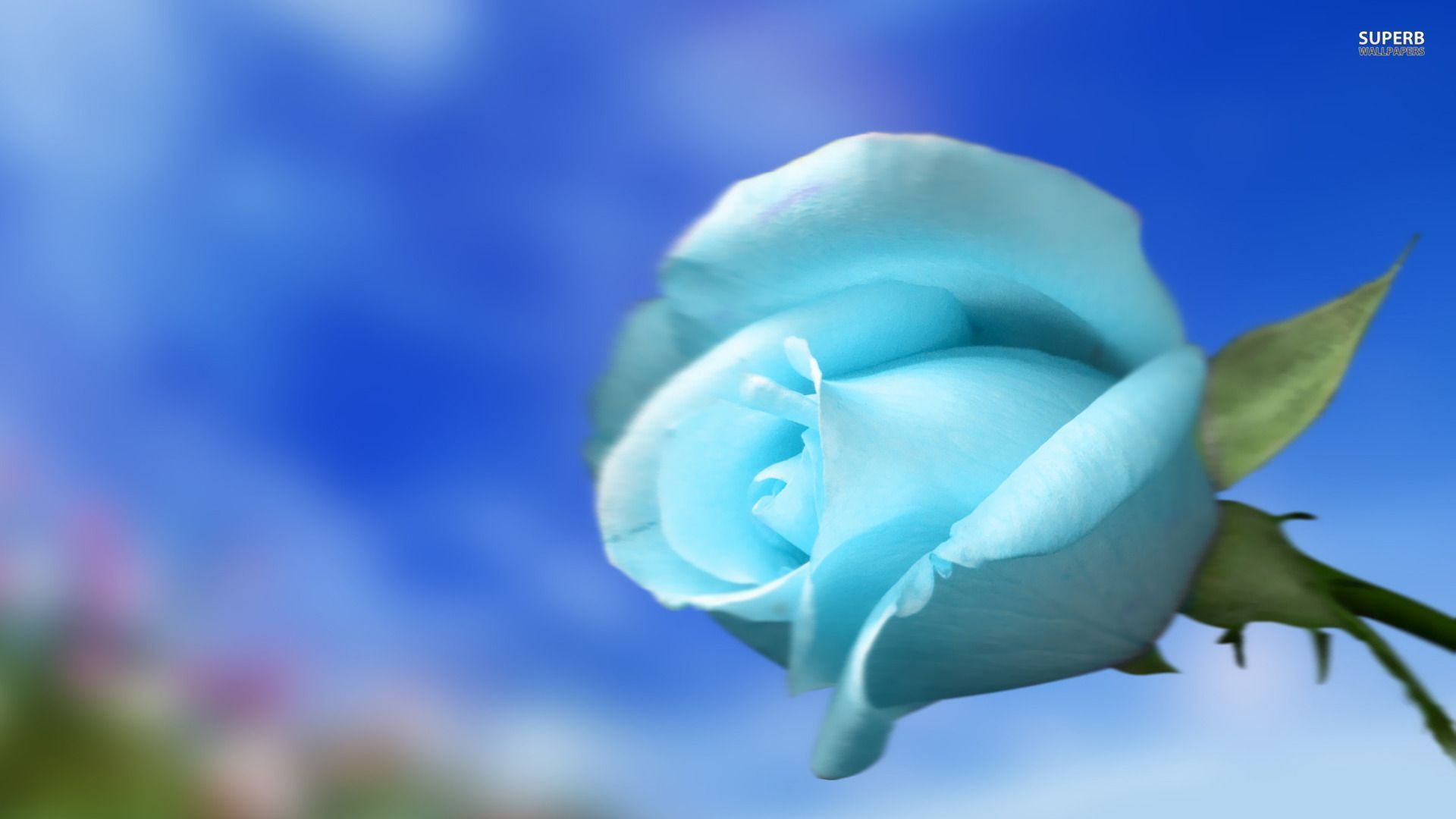 Sky Blue Wallpapers Wallpaper Cave White Flower Wallpaper Rose Flower Wallpaper Blue Roses Wallpaper