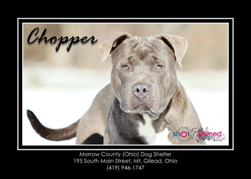 """Unlisted *URGENT!!* """"Chopper"""" American Staffordshire Terrier & Mastiff Mix • Young • Male • Large. Morrow County Dog Shelter Mount Gilead, OH. Chopper: Arrived 12/6/2013. Chopper is 1 yr old & is 75lbs. He is a large, active, strong dog & will REQUIRE training. He likes to jump, play & is ok on leash but pulls, so a strong, assertive owner is necessary. Chopper is available to an approved rescue; anyone interested in adoption must meet Chopper then do an application."""