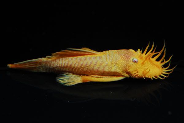 Albino Bushy Nose 1 5 2 Will Be Adding Him To My Tank I M Going To Name Him Davy Jones After The Potc Character For Those Whi Catfish Plecostomus Fish