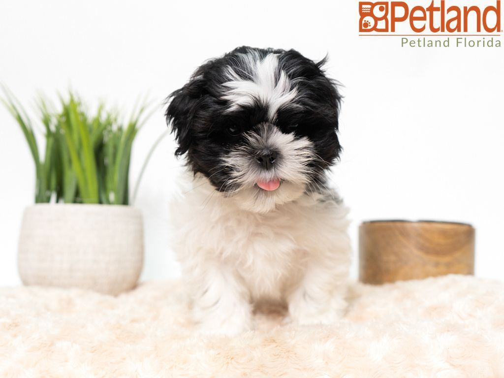Petland florida has shih tzu puppies for sale check out