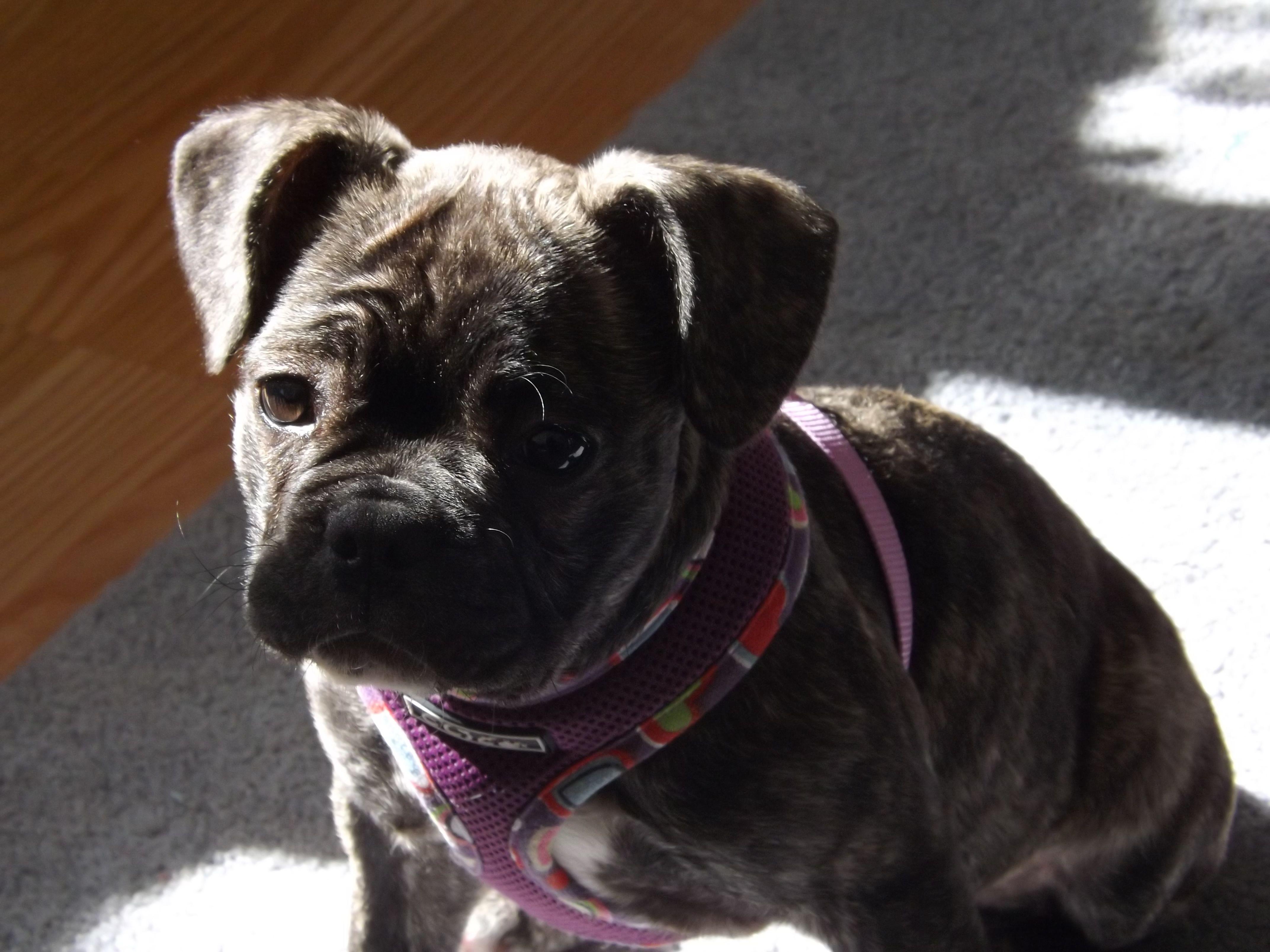 Clara Frug In The Sunlight French Bulldog Bulldog Pugs