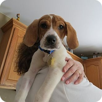 Chicago Il Beagle Mix Meet Connor A Puppy For Adoption