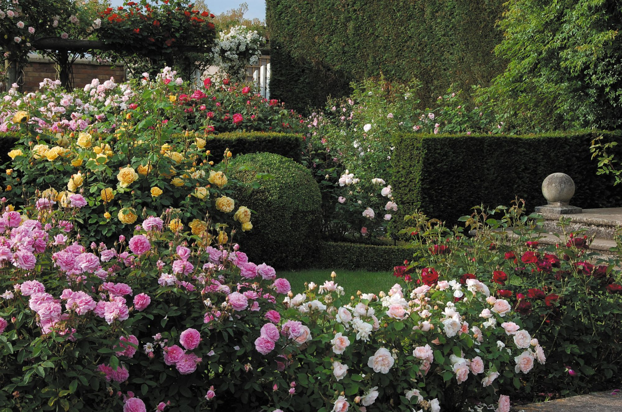David Austin English Climbing Roses (With images