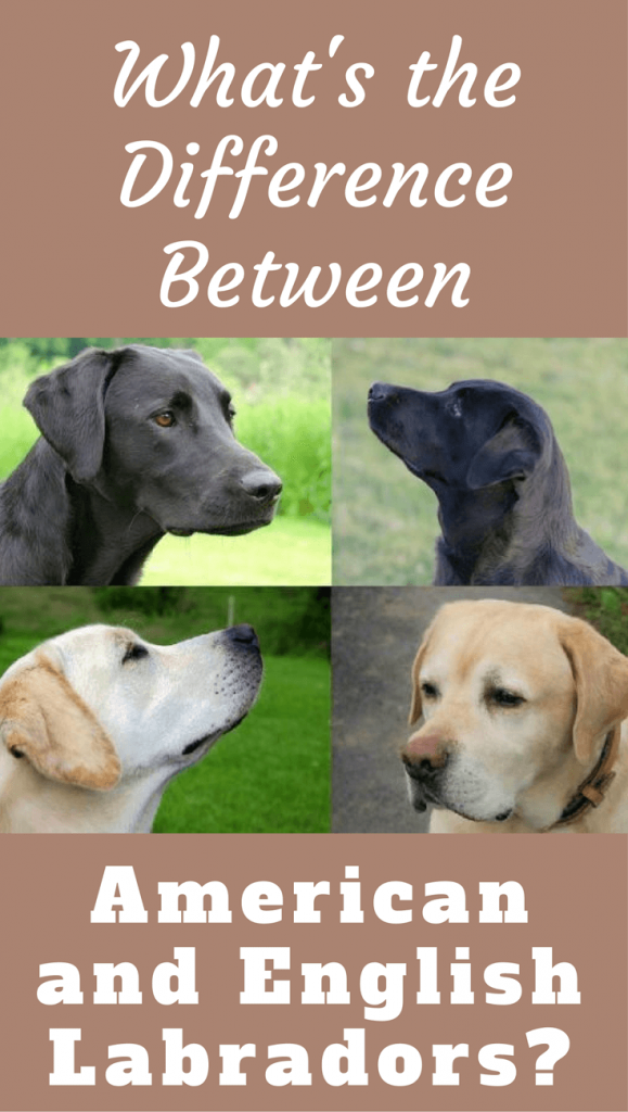 Useful Guide To Know The Difference Between American And English Labradors English Labrador Labrador Retriever American Labrador