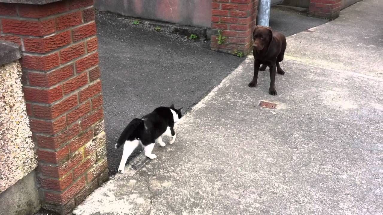A big dog is scared of my cat Bento! YouTube in 2020