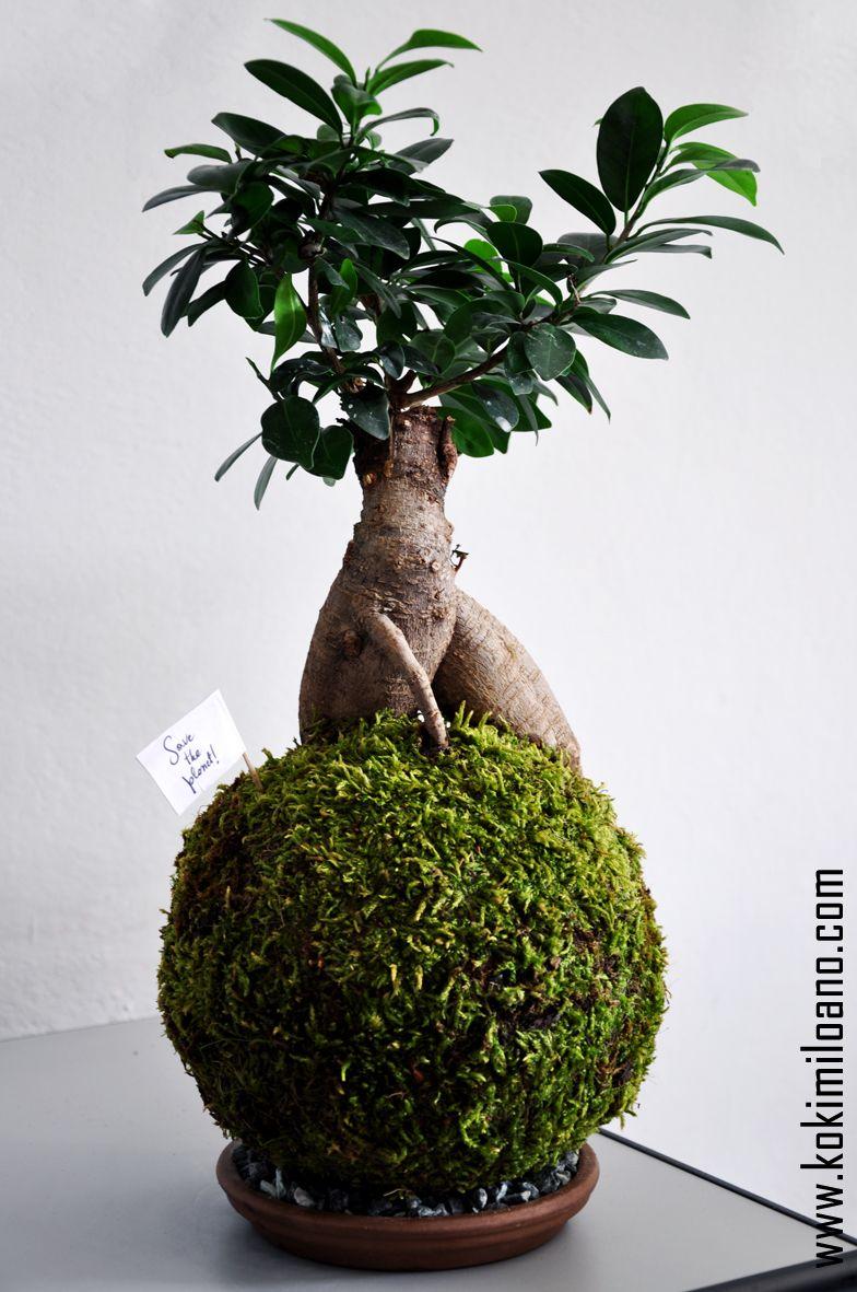 Come Riprodurre Il Ficus Benjamin pin su kokedama art