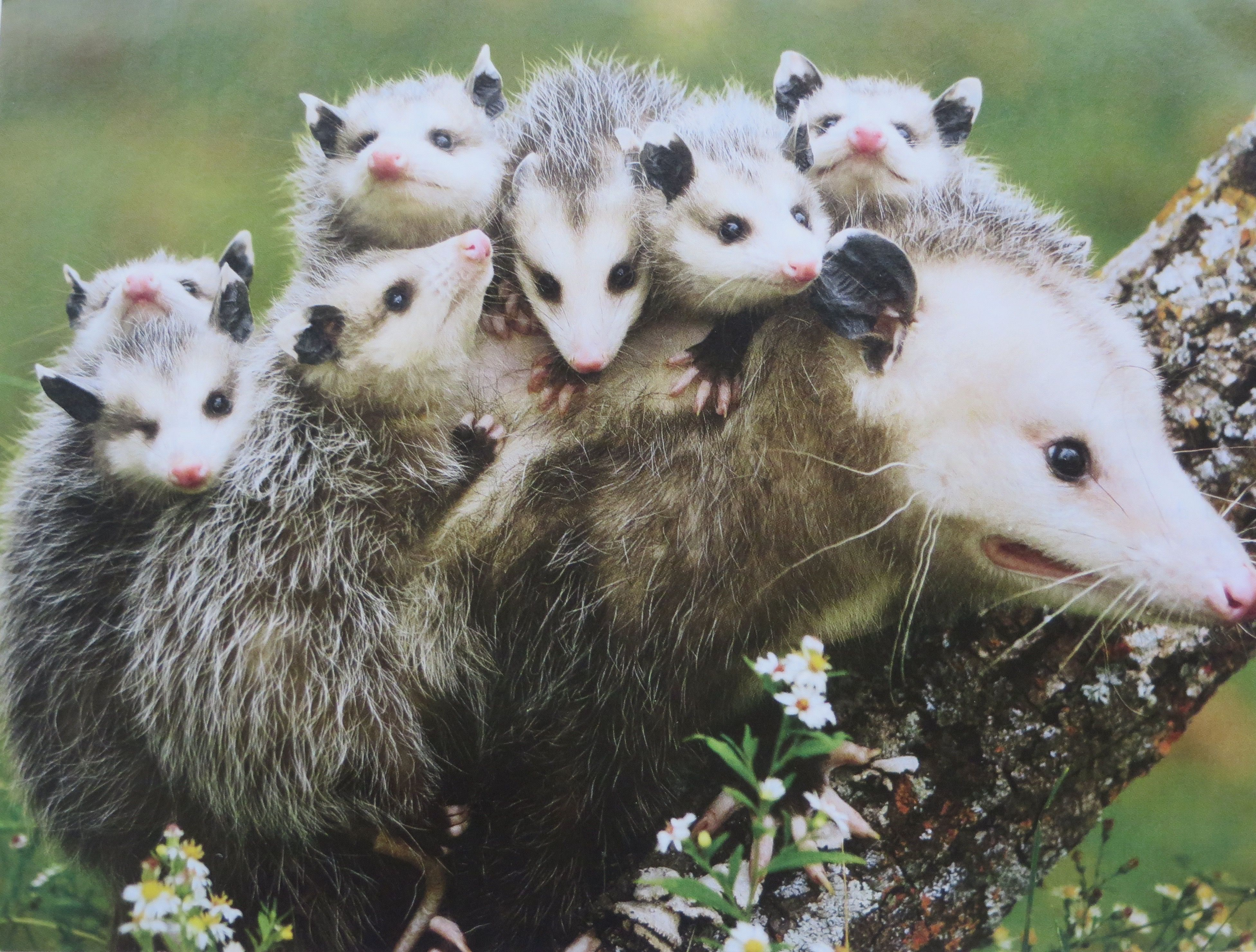 Mother opossum and babies. They are hanging on tight ...