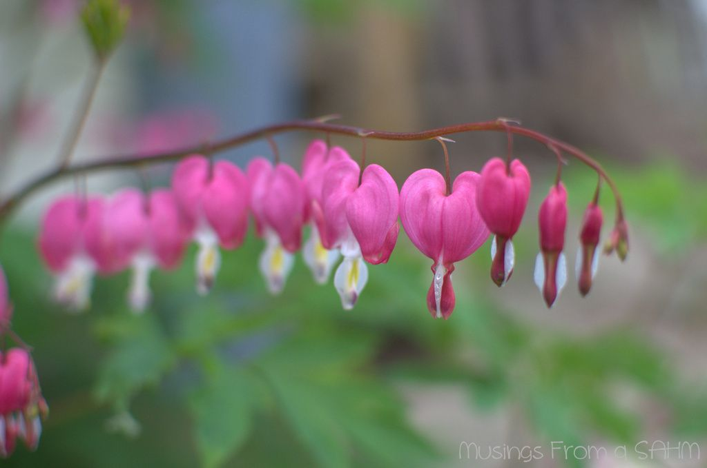 Beautiful spring flowers bleeding hearts bleeding hearts and beautiful spring flowers bleeding hearts musings from a stay at home mom mightylinksfo