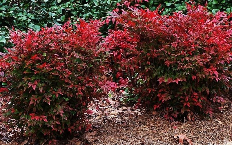 Gulf Stream Nandina Nandina Domestica Gulf Stream 1 Gallon Shrubs For Winter Color Landscaping With Rocks Shrubs Garden Shrubs
