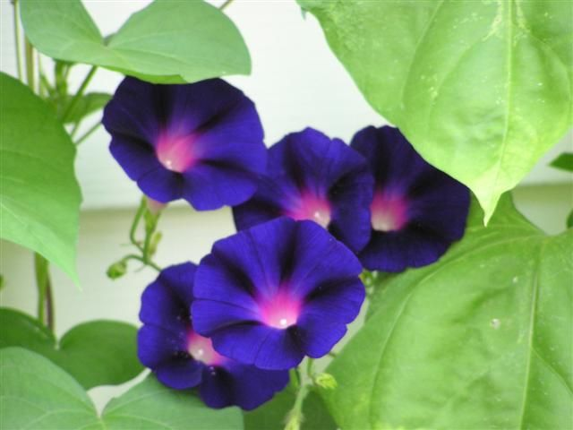 Morning Glory Black Knight Garden Vines Beautiful Flowers Morning Glory