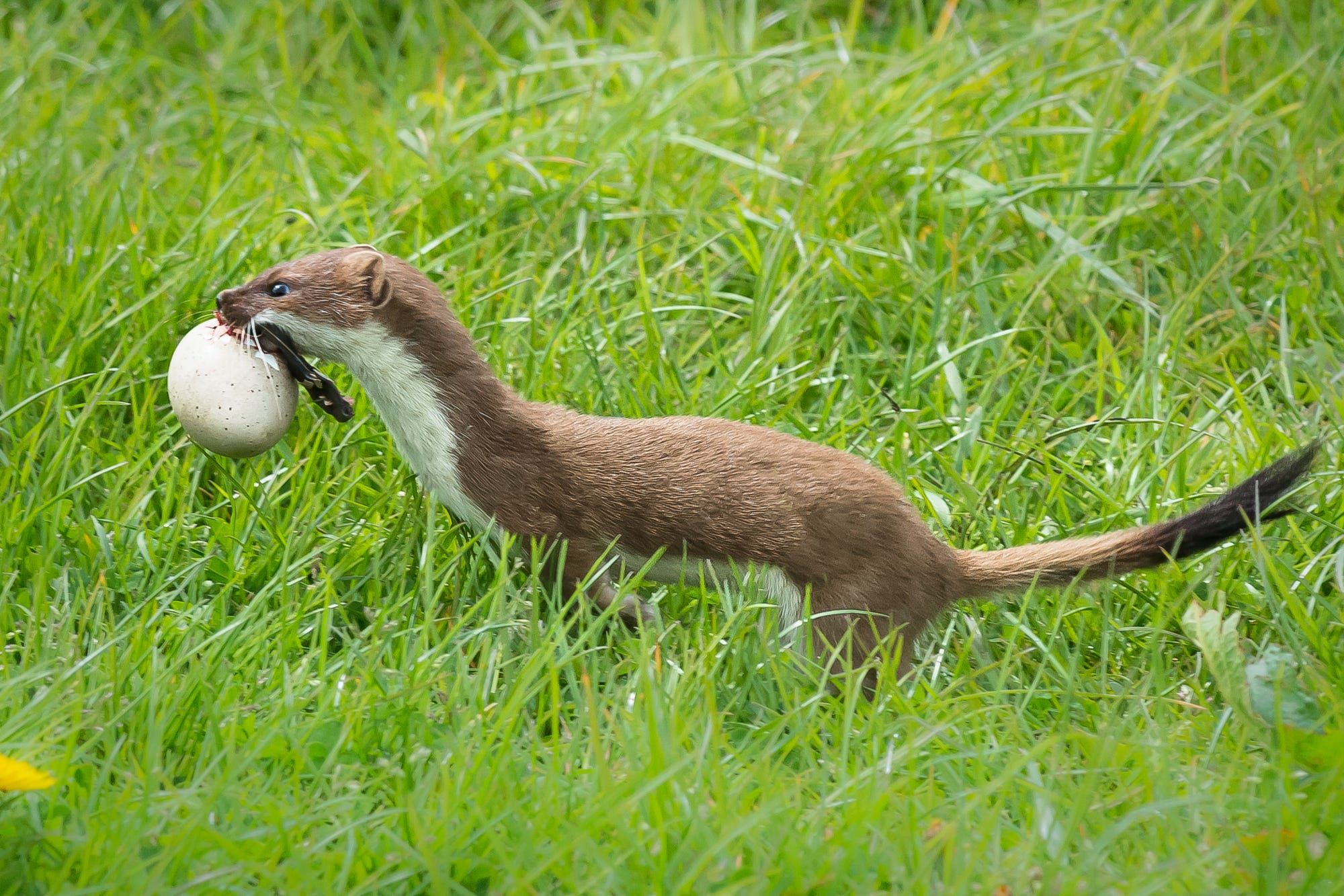 Stoat with egg by Ian Calland on 500px