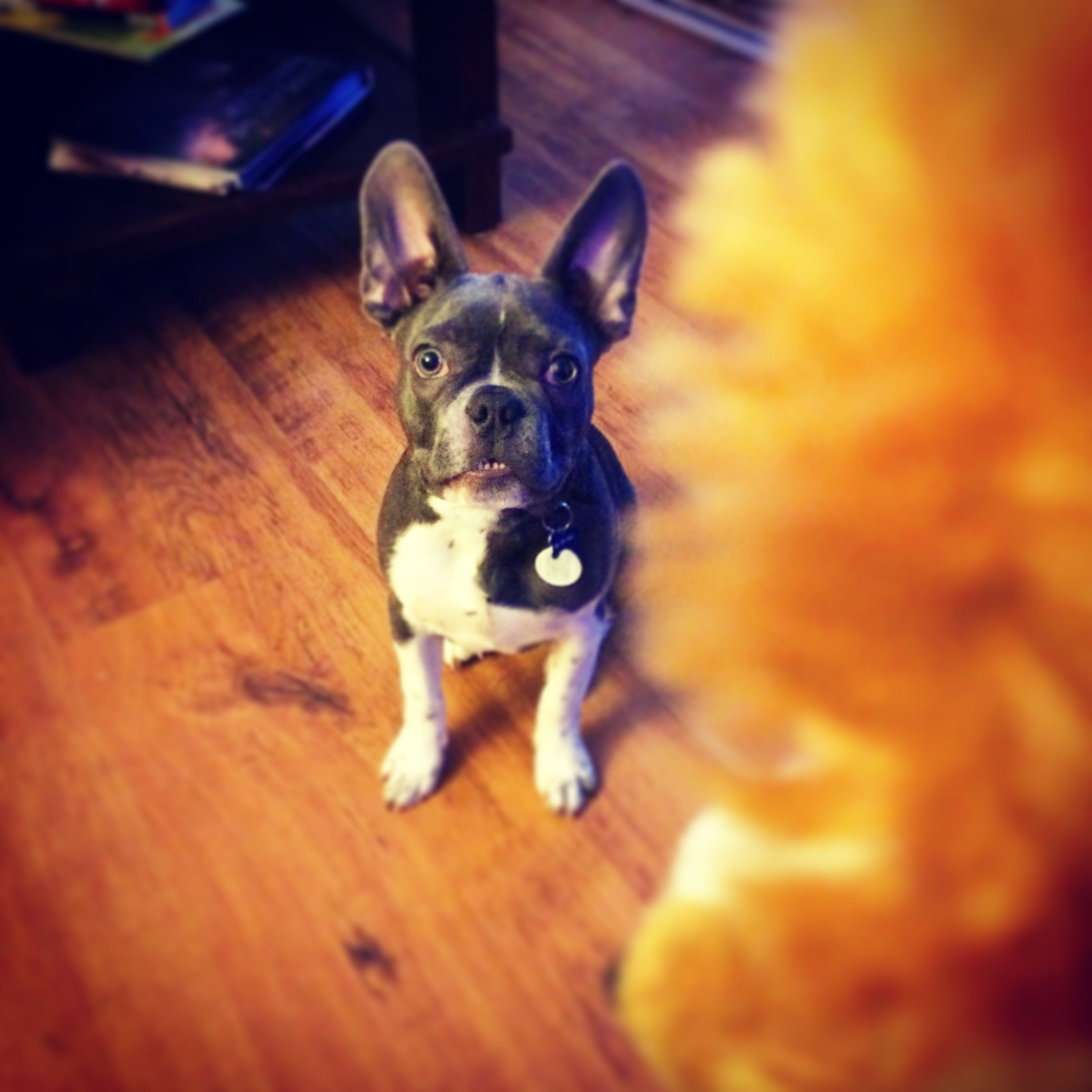"""""""Throw the goddam toy, Mom""""!!! Jasper 5 months old. #frenchton #fauxfrenchie"""