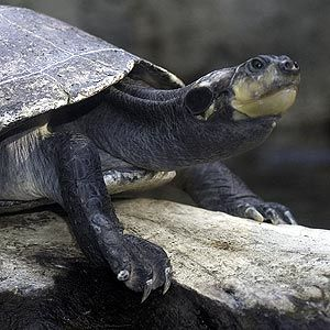 Yellow Spotted Amazon River Turtle Animal Fact Sheet Lincoln Park Zoo Turtle River Turtle Animal Facts