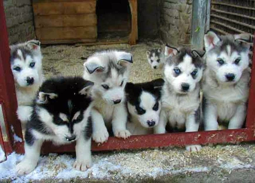 Husky Corgi Mix Puppies Pictures Siberian Husky Puppies Puppies Cute Animals