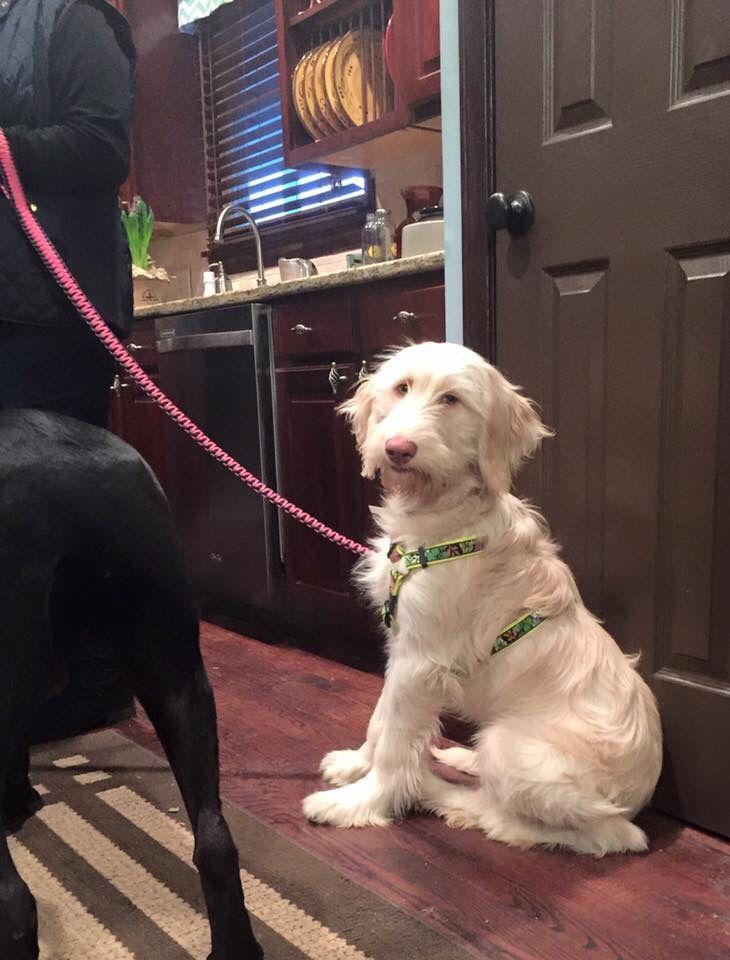 Gryffintherescue Instagram Irish Wolfhound Golden Retriever