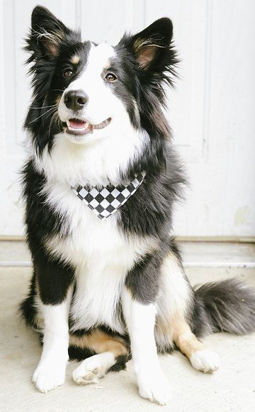 The Top 5 Trainable Dog Breeds Pets Love Border Collie Dog