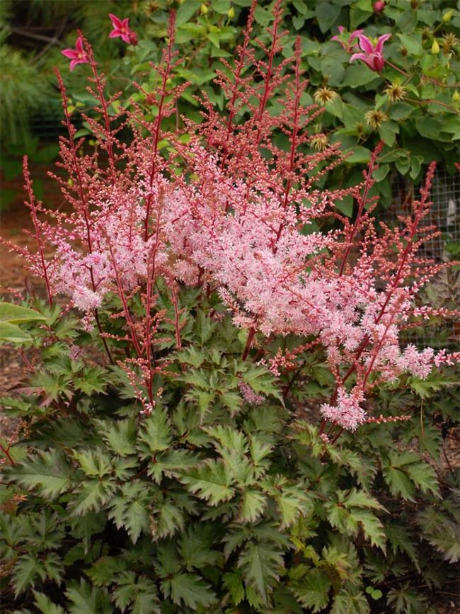 Astilbe Delft Lace Bluestone Perennials In 2020 Flowers Perennials Perennial Plants Astilbe