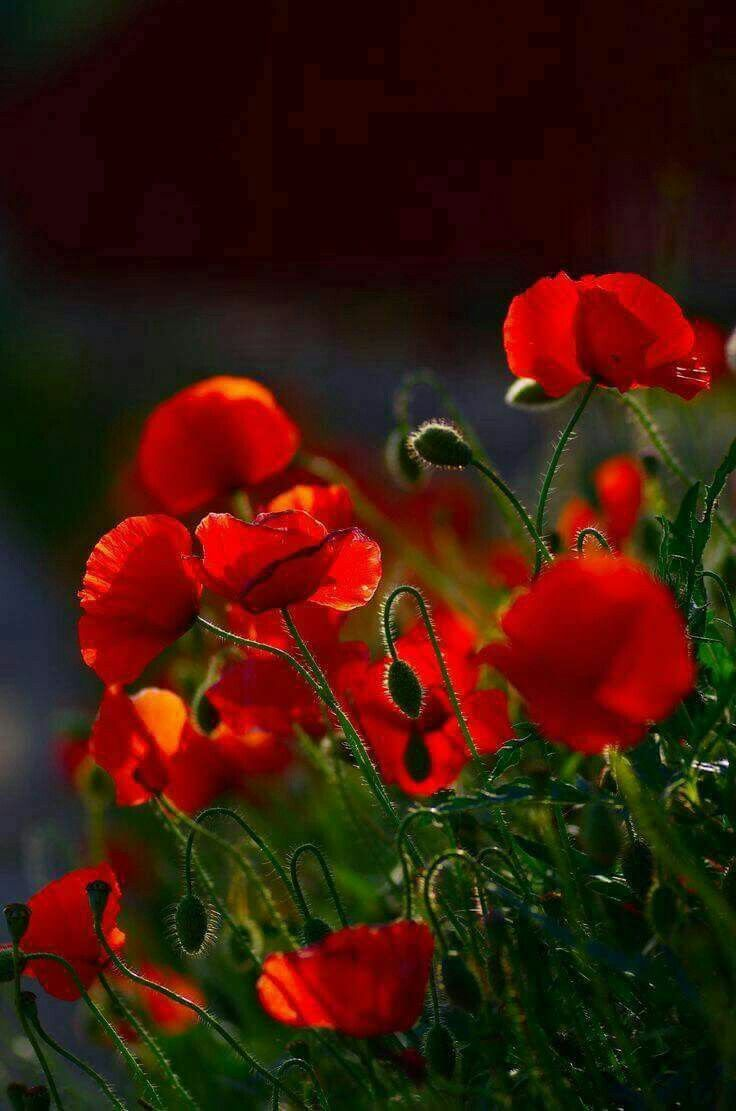 Pin By Tirador On Poppies Pinterest Flowers