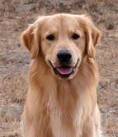 Golden Retrievers Best Dogs For Families Golden Retriever Golden Retriever Kennel