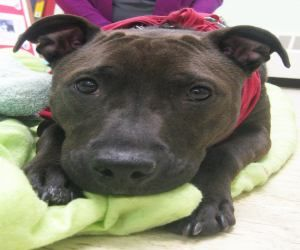 Peanut Is An Adoptable American Bulldog Dog In Syracuse Ny Look
