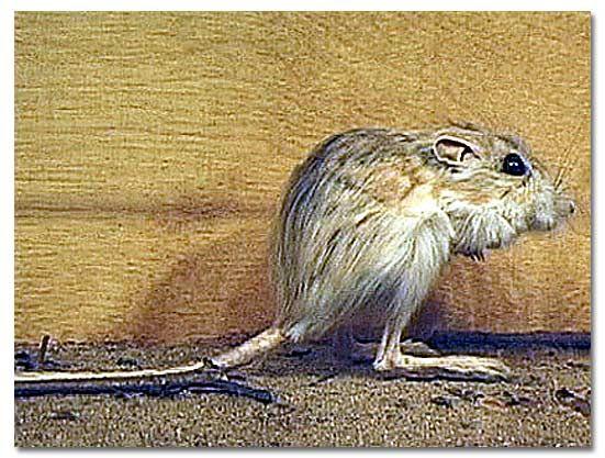 kangaroo rat things i like pinterest