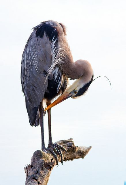 Pin By Wally Dilk On Nature Pinterest Blue Heron Heron And Birds