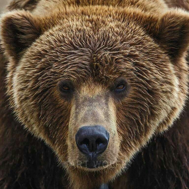 Brown Bear Close Up Face Animal Photography Pictures Photos Bears Animal Photography Animals Animal Photography Wildlife