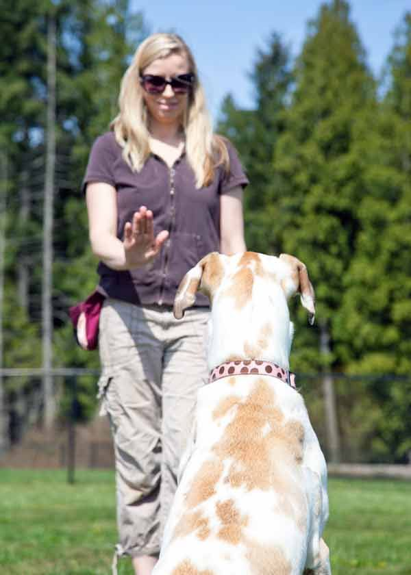 Training Great Danes Online Guide To Training And Behavior