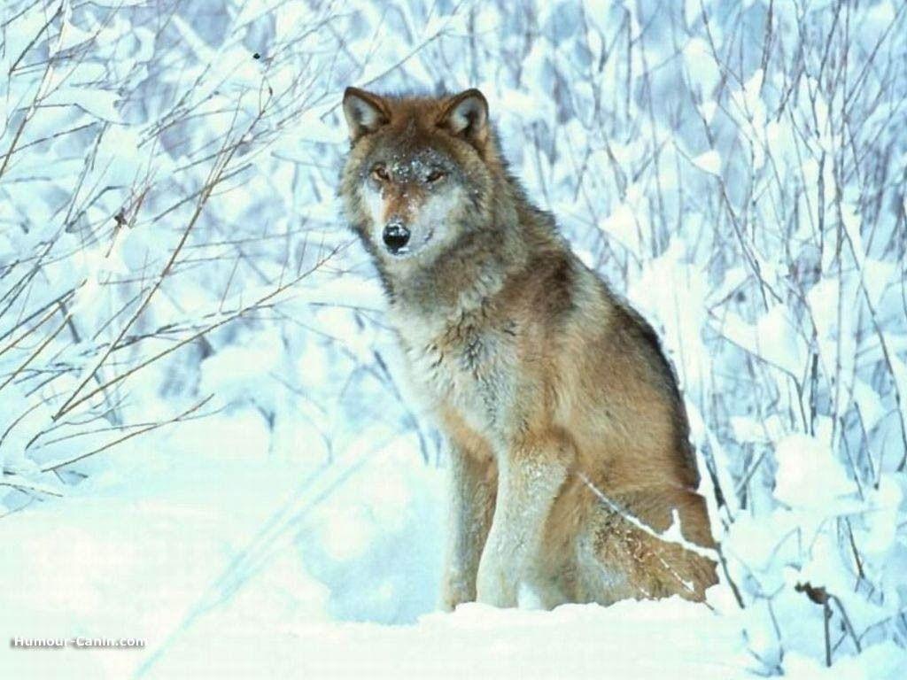 Epingle Sur Loups