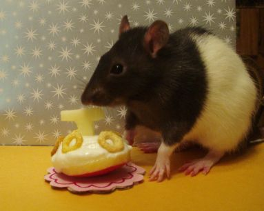 Homemade rat treat recipes | Animal Friends | Pet rats, Rat toys