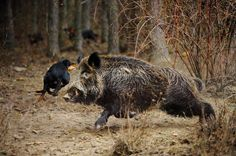 Wild boar being cornered by dogs.
