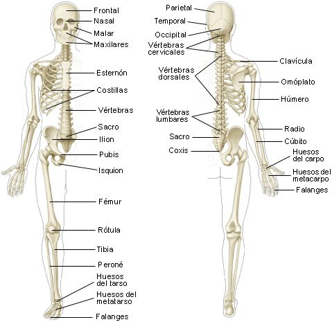 1061 Huesos Jpg Medical Anatomy Human Anatomy And Physiology Medicine Studies