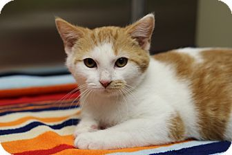 Marietta Ga Domestic Shorthair Meet Doc A Kitten For Adoption
