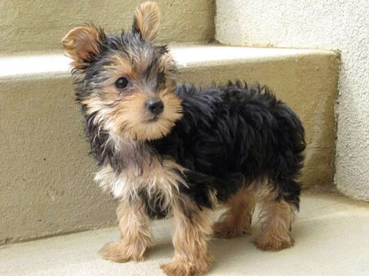 Full grown teacup yorkie | Future Fur Babies | Pinterest ...